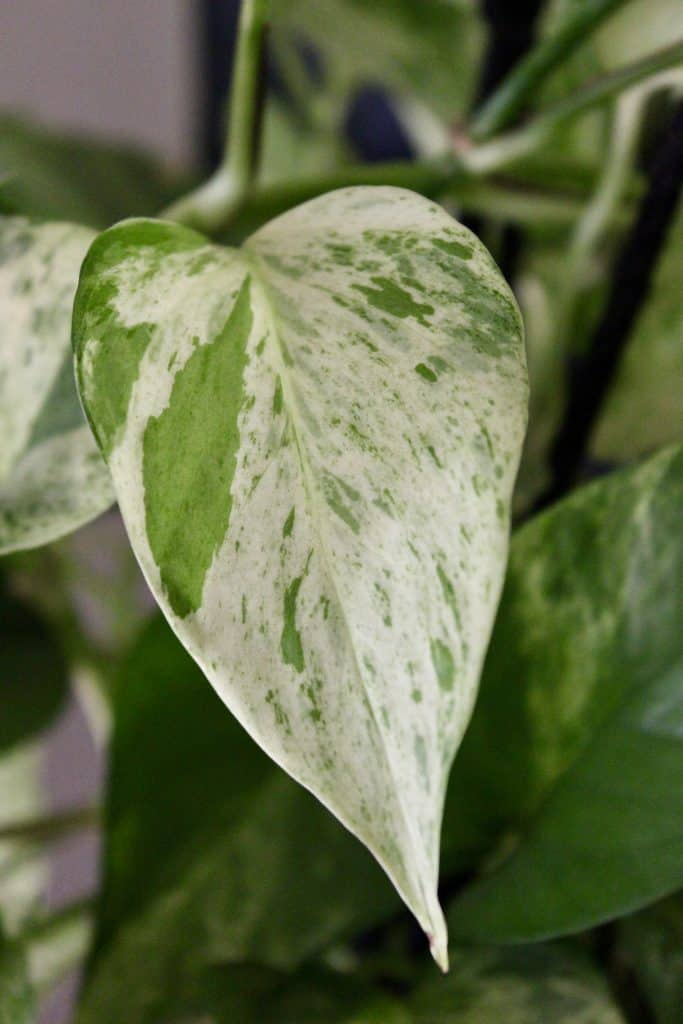 marble queen pothos leaf