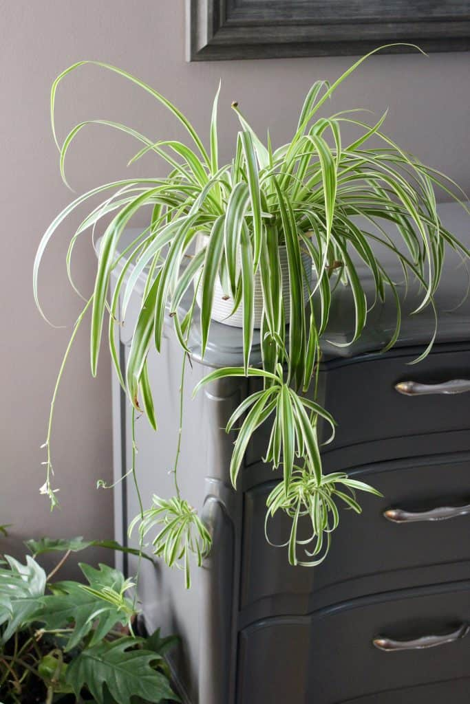 spider plants are easy to care for