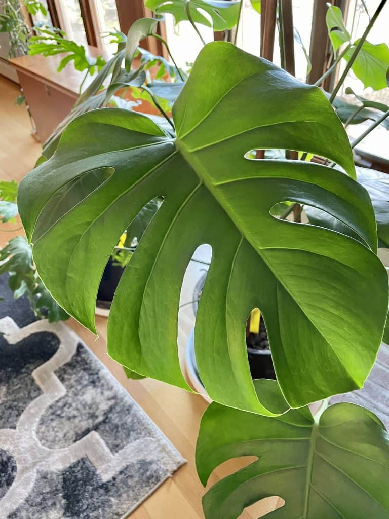 proper monstera deliciosa care
