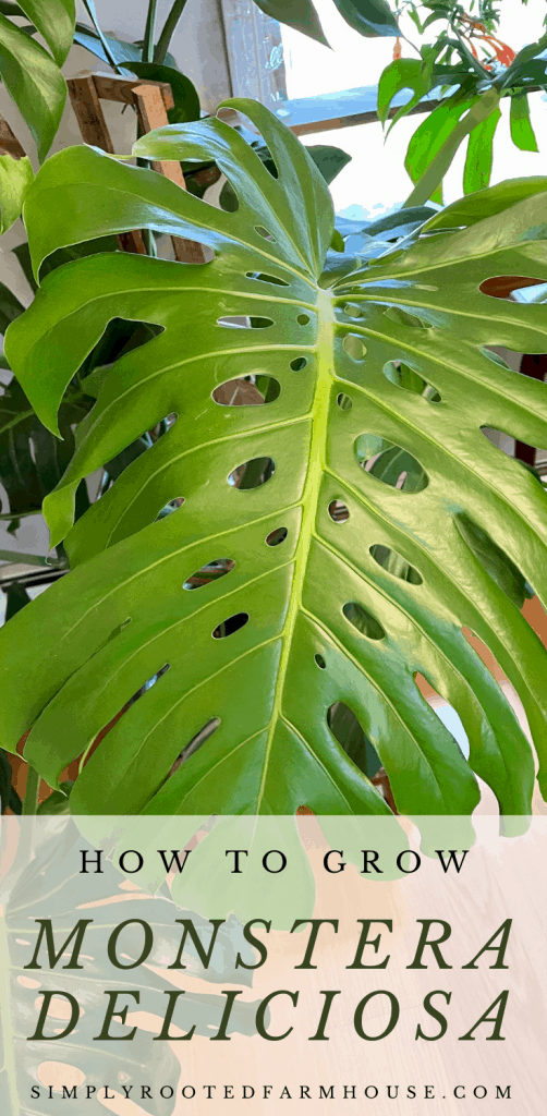 how to grow monstera deliciosa