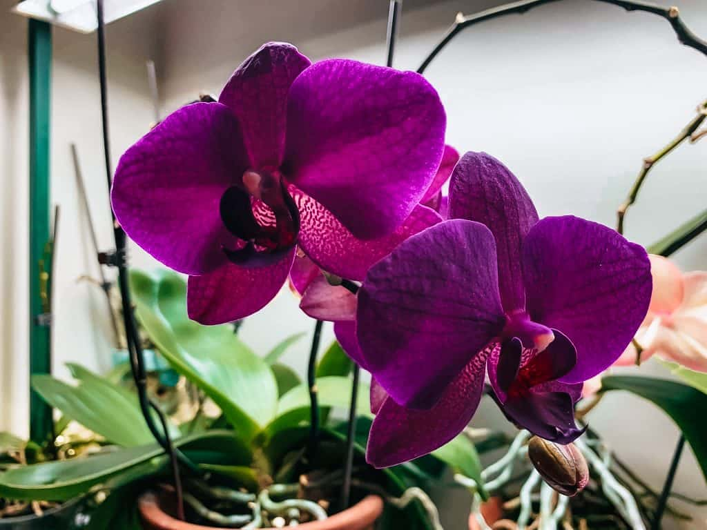 purple orchid blooms and orchid plants under a grow light