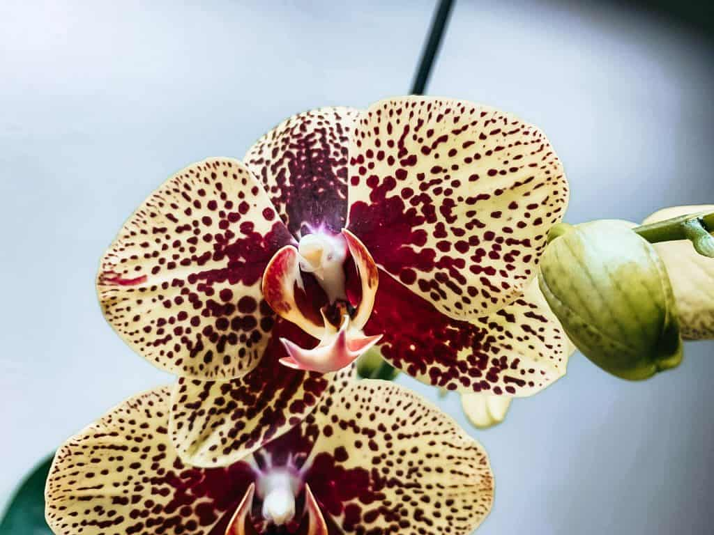orchid care starts with healthy orchids spotted moth orchid image