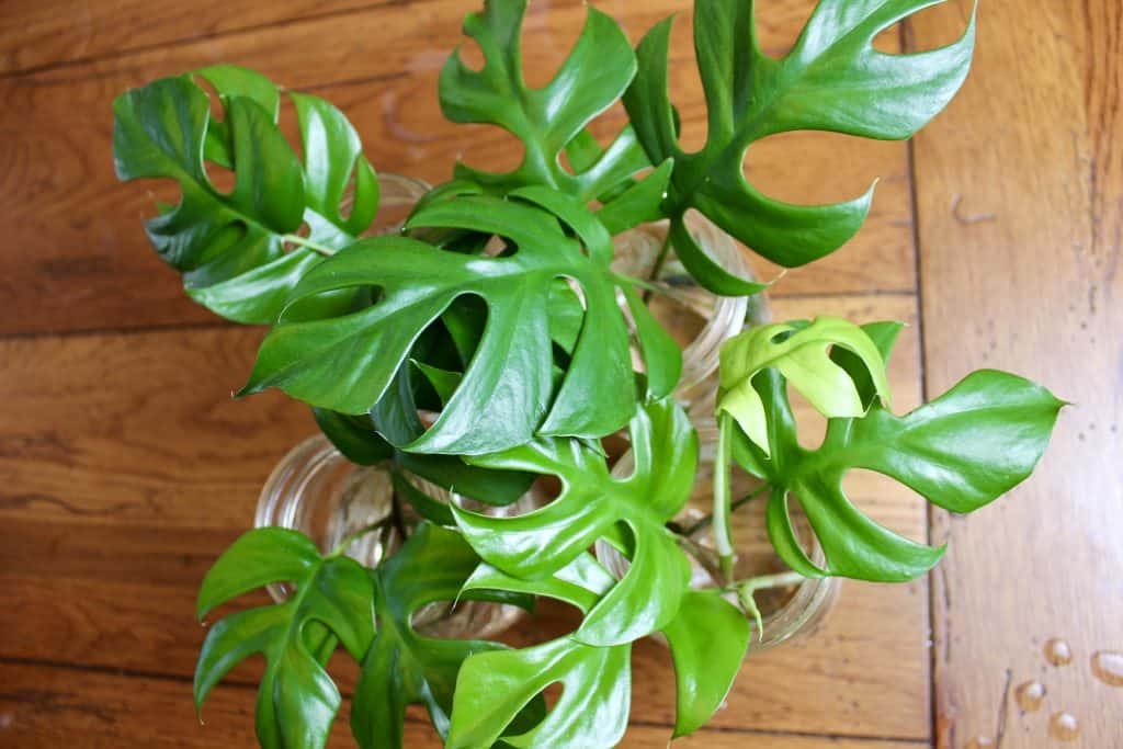 numerous plant cuttings propagating in water