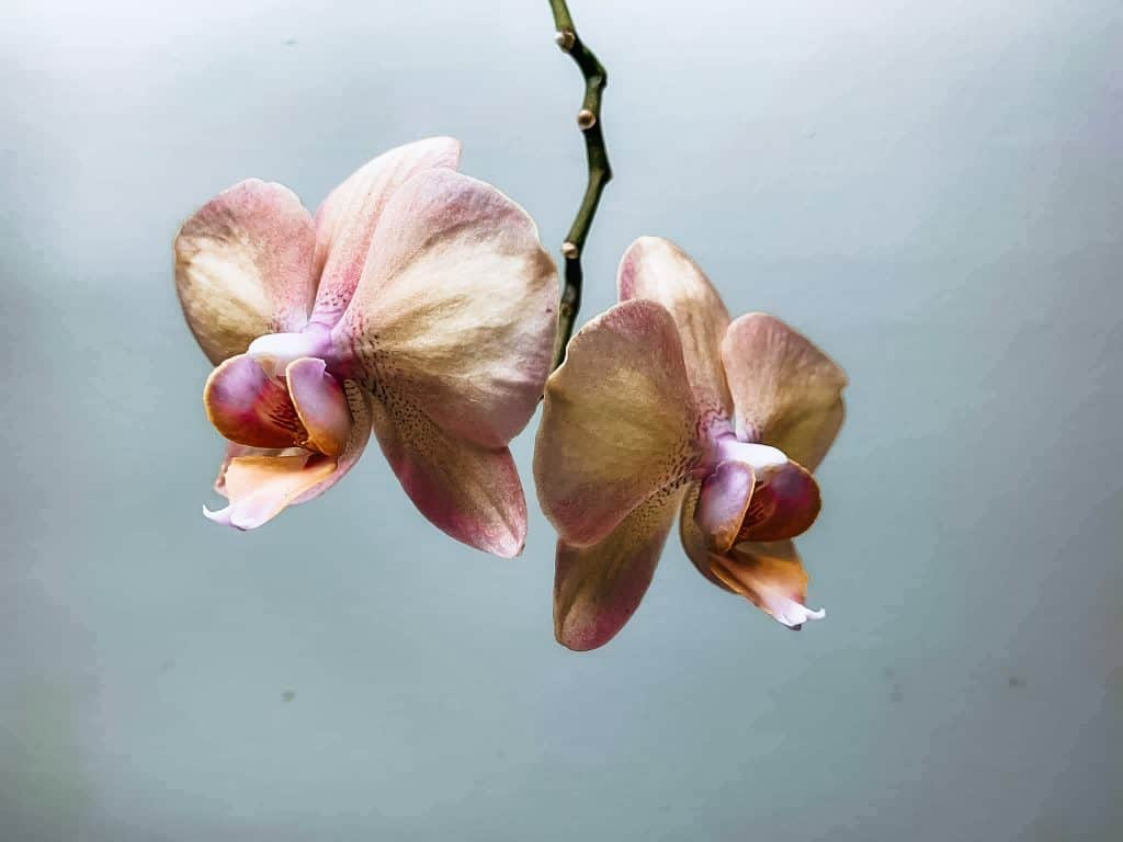 peach orchid blooming after following simple orchid care tips