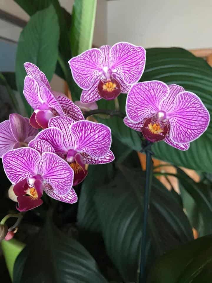 many pink orchid blooms on a well cared for orchid plant