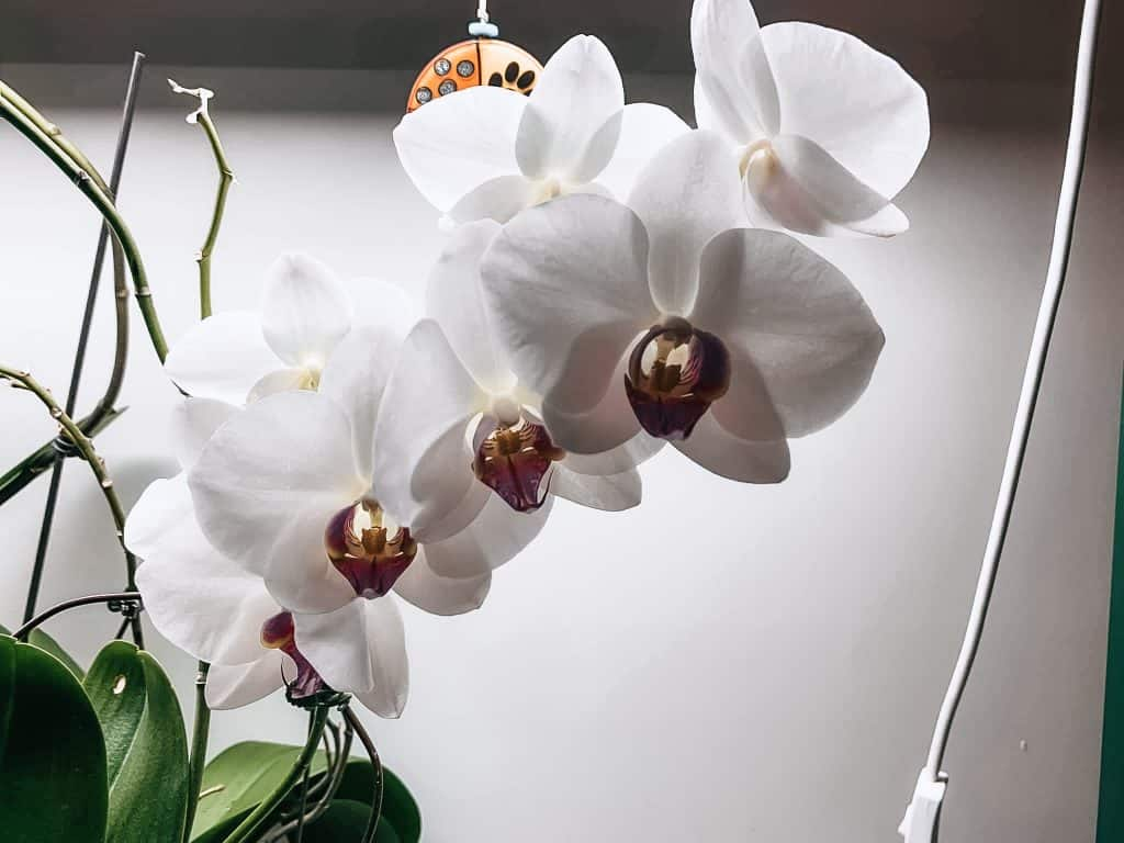 white orchid blooms from great orchid care tips