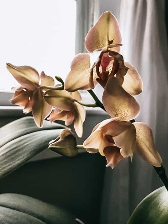 orchid care tips peach orchid blooms