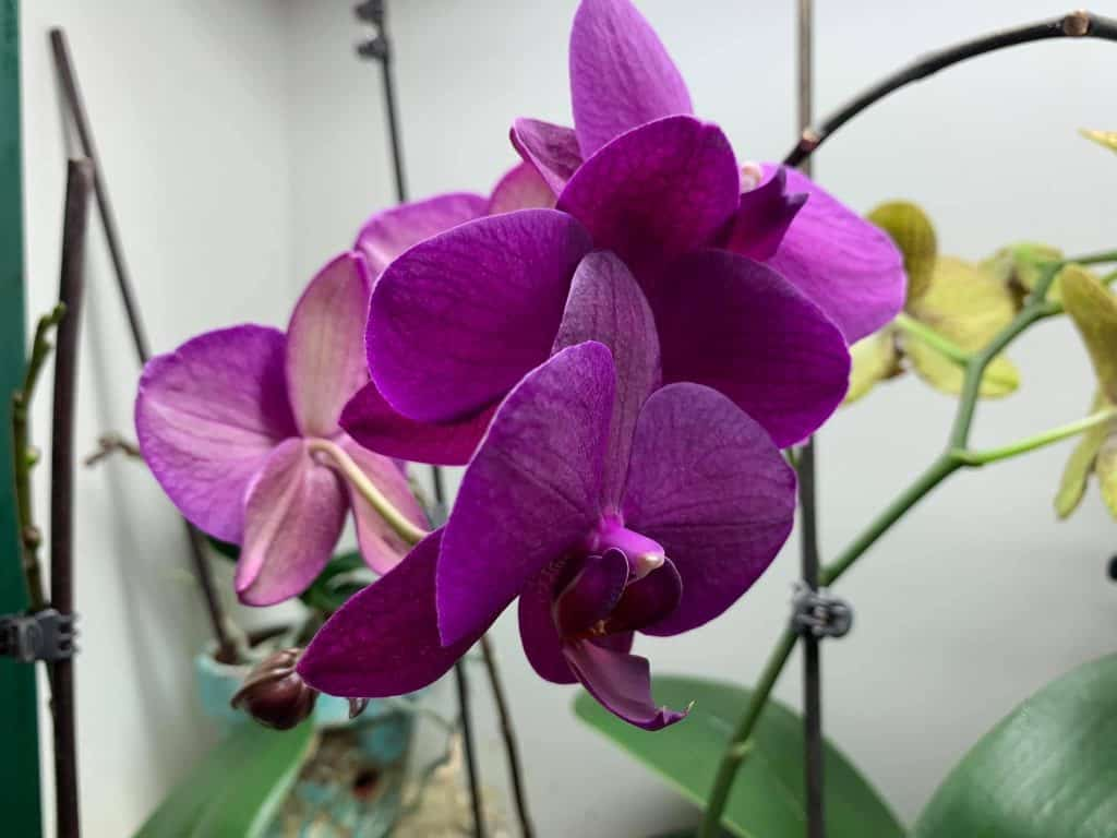 soft velvet orchid petals on a well cared for phalaenopsis orchid