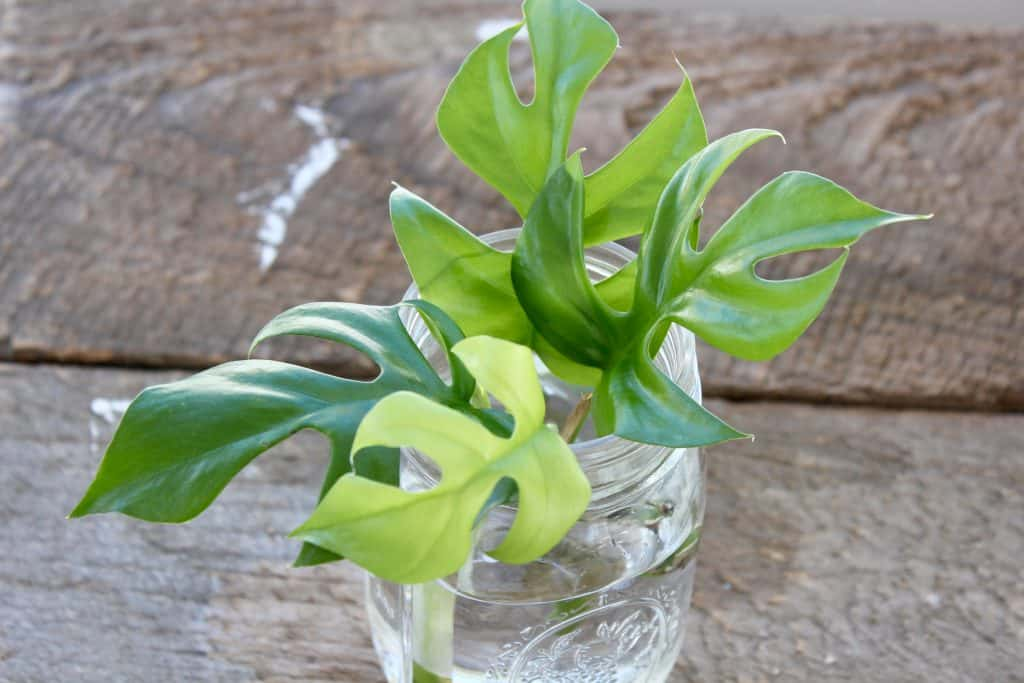 leaves sitting in jars of water to propagate