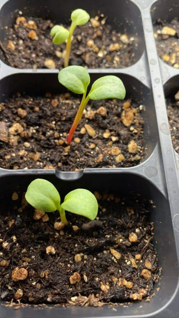 sprouted rhubarb