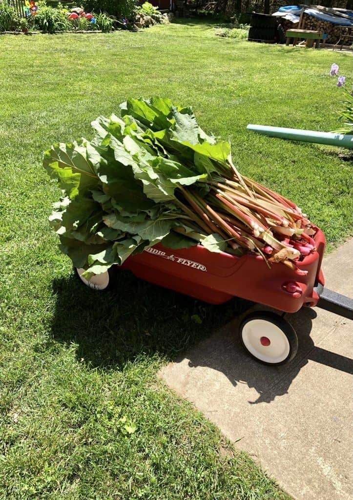freshly harvested rhubarb in a wagon
