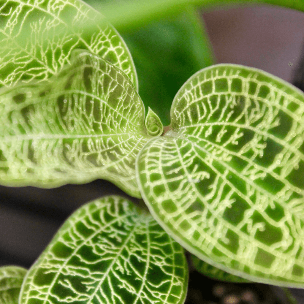 jewel orchid thriving in an ikea glass greenhouse cabinet